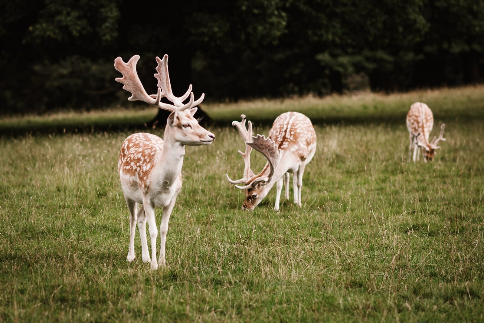 Deer at swinton Park